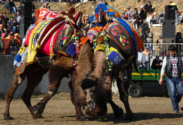 Turkey Camel Wrestling Festival