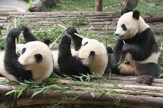 Chengdu Giant Pandas.