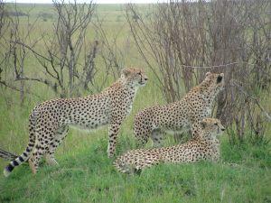 Family of Cheetahs at Massai Mara Kenya