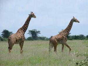 Giraffes in Kimana Park, Kenya