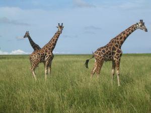 Giraffes in Uganda