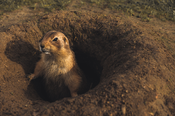a groundhog peeking out of his burrow