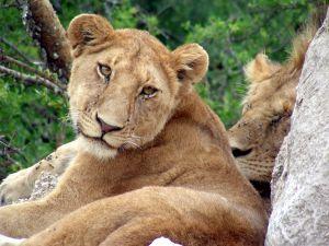 Lazy Lion Tanzania