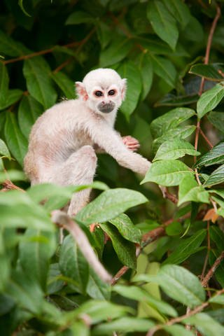 Saimiri cub sitting in tree in Amazon Rainforest of Brazil