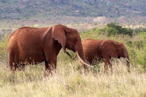 Two Elephants on East Tsavo Wildlife Reserve in Kenya, Africa