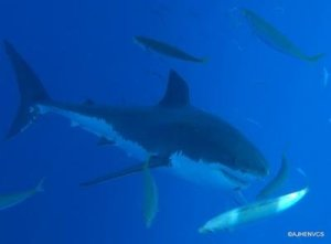 Isla Guadalupe Shark Diver