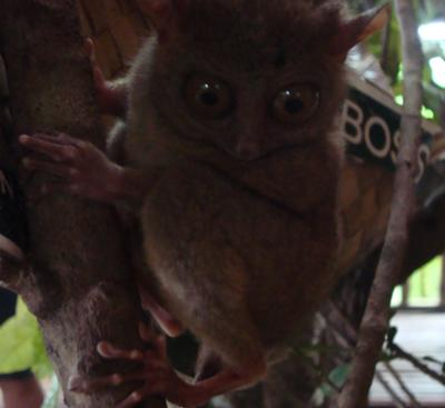 The Tarsier in the Philippines