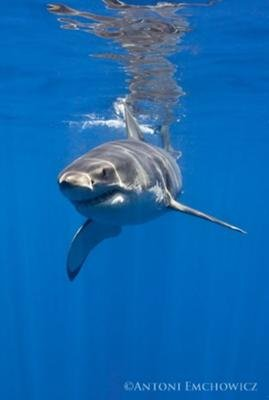 Cage Diving for Great White Sharks at Isla Guadalupe Mexico with SharkDiver.com