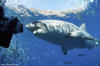 Isla Guadalupe sharkdiver.com