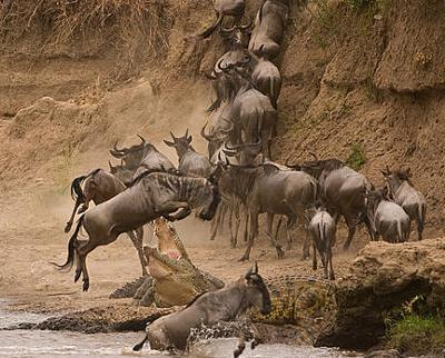 Crocodile attacks wildebeest in Masai Mara